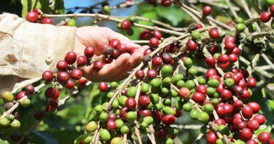 Pandemia não influenciou negativamente na colheita do café em Marechal Floriano